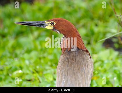 Rufescent Tiger-Heron (Tigrisoma lineatum), Araras Ecolodge,  Mato Grosso, Brazil - Stock Photo