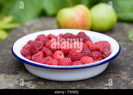 Rubus idaeus 'Autumn Bliss'. Freshly picked red berries in an enamel bowl. - Stock Photo
