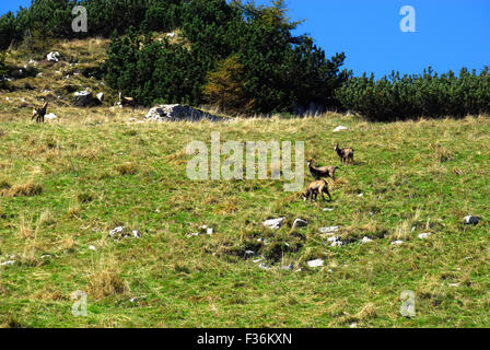 Mount Pasubio, locality Sogli Bianchi,  Veneto Pre-Alps. An Alpine chamois. On these mountains the Austrians and - Stock Photo