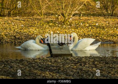 Pair of mute swans facing each other on water - Stock Photo