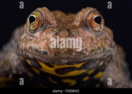 Yunnan fire-bellied toad (Bombina maxima)