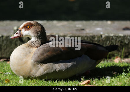 Benrath Palace, Benrath, Germany. 30th September 2015. Egyptian Goose basking in the sun beside the Mirror Pond - Stock Photo