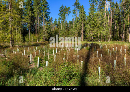 reforestation small saplings tube sapling tree forest protection from wild game bite, renew seedlings protection - Stock Photo