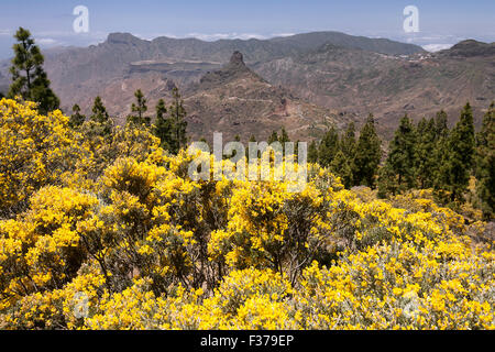 View from the trail to the Roque Nublo on blooming vegetation, yellow flowering broom (Genista) Canary island pine - Stock Photo