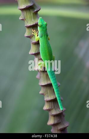 Green day gecko (Phelsuma), La Digue Island, Seychelles - Stock Photo