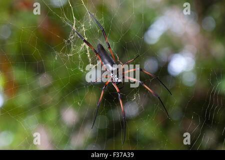 Golden silk orb-weaver (Nephila madagascariensis inaurata) waiting in its web, La Digue Island, Seychelles - Stock Photo