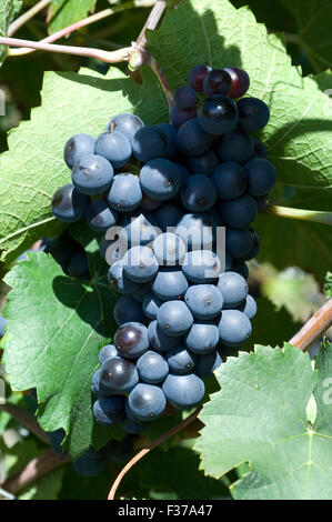 Sangiovese, Rotwein, Rote, Weintrauben, Weintraube, - Stock Photo