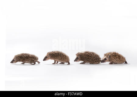 European hedgehog (Erinaceus europaeus), four young hedgehogs walking in a line, captive - Stock Photo