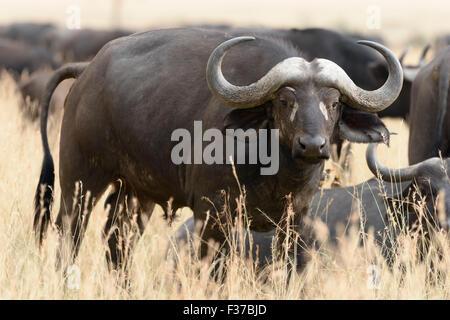 African buffalo or cape buffalo (Syncerus caffer), Maasai Mara National Reserve, Narok County, Kenya - Stock Photo