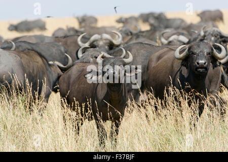 Herd of African buffalo or cape buffalo (Syncerus caffer), Maasai Mara National Reserve, Narok County, Kenya - Stock Photo