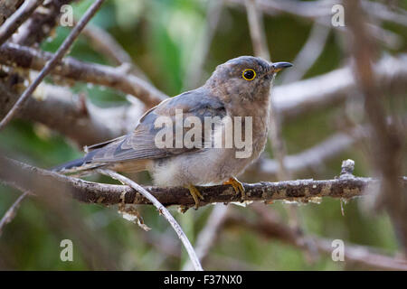 Fan-tailed Cuckoo (Cacomantis flabelliformis), Bibra Lake, Perth, Western Australia - Stock Photo
