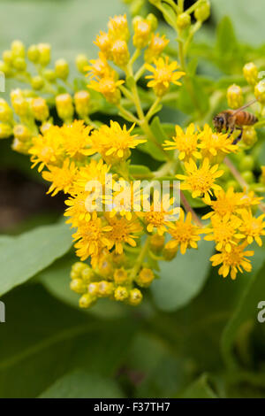 Stiff goldenrod aka Stiff-Leaved goldenrod (Solidago rigida) - USA - Stock Photo