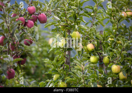 Green apple tree orchard ready to harvest Stock Photo: 124657198 - Alamy