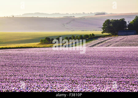 Sunrise over a field of cultivated white poppies on the Marlborough Downs in Wiltshire. - Stock Photo