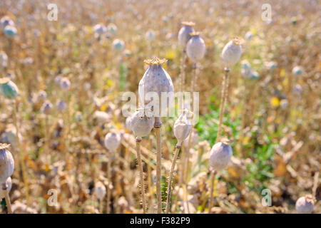 Poppyheads at cultivated poppy field, Czech republic, Europe - Stock Photo