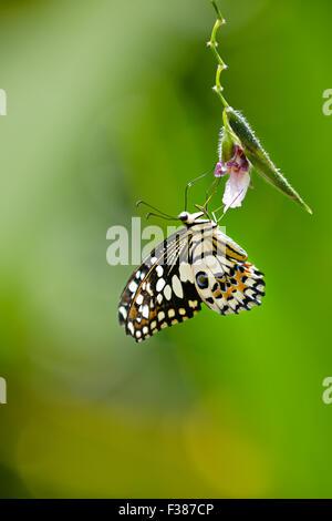 Lemon Butterfly. Scientific name: Papilio demoleus. Banteay Srei Butterfly Centre, Siem Reap Province, Cambodia. - Stock Photo