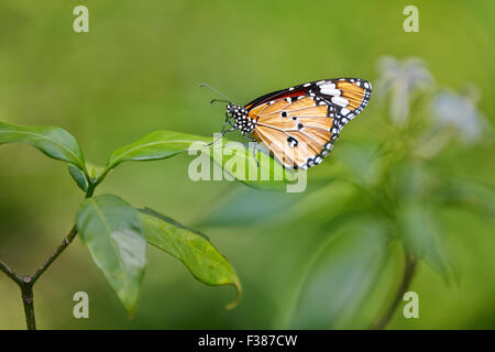 Plain Tiger Butterfly. Scientific name: Danaus chrysippus. Banteay Srei Butterfly Centre, Siem Reap Province, Cambodia. - Stock Photo