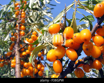 close-up of ripe berries of sea-buckthorn Stock Photo