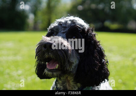 Cute Black & White Cockapoo in Park with Grassy background - Stock Photo