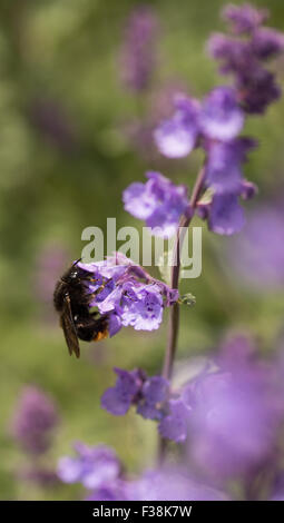 Bumble bee on purple flower, United Kingdom - Stock Photo