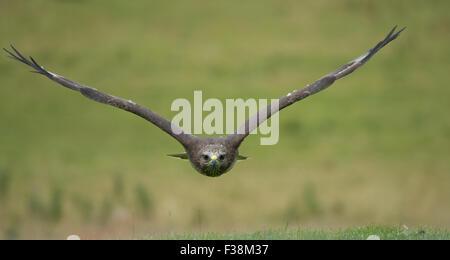 Common buzzard (Buteo buteo) in flight, United Kingdom - Stock Photo