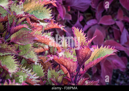 Henna coleus ornamental foliage with redhead coleus plant in background - Stock Photo