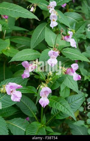 Himalayan balsam - Impatiens glandulifera.