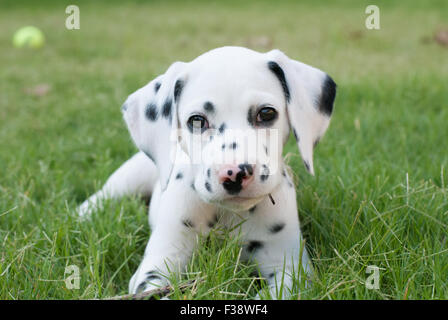 Pure Bred Dalmatian Puppy at 8 weeks old - Stock Photo