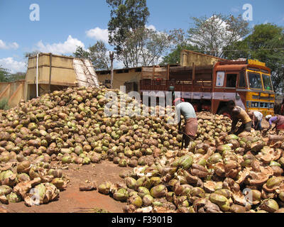 coconut fruit harvested from bioindustrial crop - coconut palm is transported from the farm by truck and brought - Stock Photo