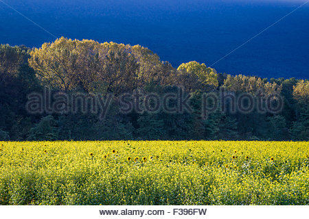 Colza flower field at sunset - Stock Photo