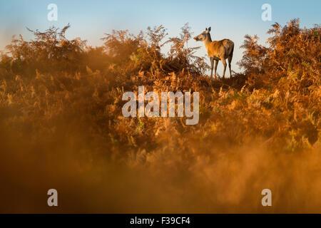 Red deer hind standing in autumnal bracken at sunrise - Stock Photo