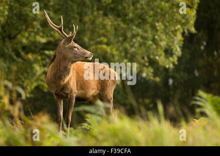 Single red deer stag standing in rain amongst trees - Stock Photo