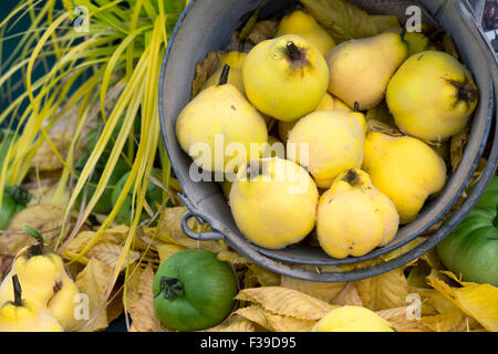 Cydonia oblonga . Quince display at the Malvern Autumn Show, Worcestershire, UK - Stock Photo