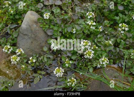 Water-cress - Rorippa nasturtium-aquaticum Mass of plants in stream Stock Photo