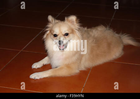 cute brown pomeranian dog on background - Stock Photo