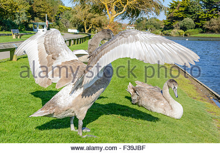 Cygnet stretching its wings by a lake in the UK. - Stock Photo