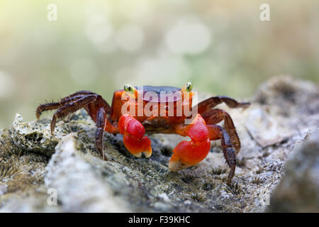 Portrait of a red crab on a rock - Stock Photo