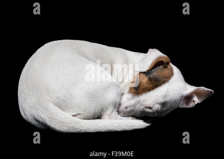 Portrait of a jack russell dog sleeping - Stock Photo