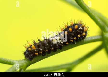 Swallowtail caterpillar at a very early stage.
