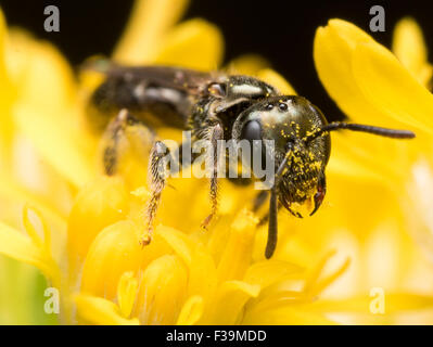 Dark Sweat bee (Lasioglossum) extracts pollen from a yellow flower - Stock Photo