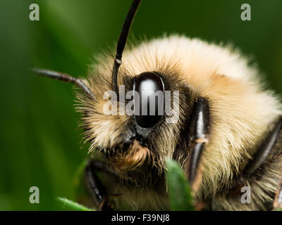 bumble bee with bright golden fur close up portrait - Stock Photo