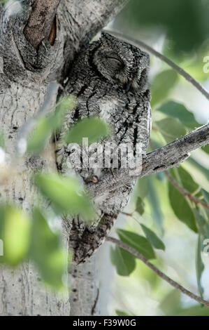 Camouflaged African Scops-Owl, sitting on a branch, Etosha National Park, Namibia, Africa - Stock Photo