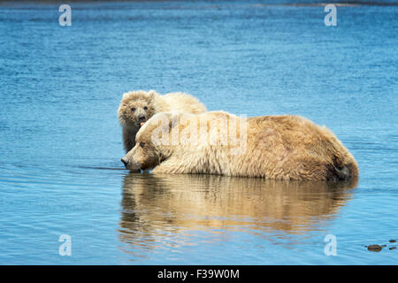 Cute Grizzly Bear Spring Cub, Ursus arctos, licking its mother, Lake Clark National Park, Alaska, USA - Stock Photo