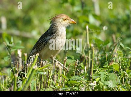 Guira Cuckoo (Guira guira) on ground, Araras Ecolodge,  Mato Grosso, Brazil - Stock Photo