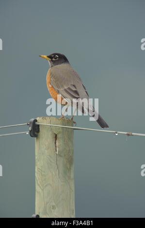 American Robin (Turdus migratorius) perched on a fence post,  Healdsburg , California, USA - Stock Photo