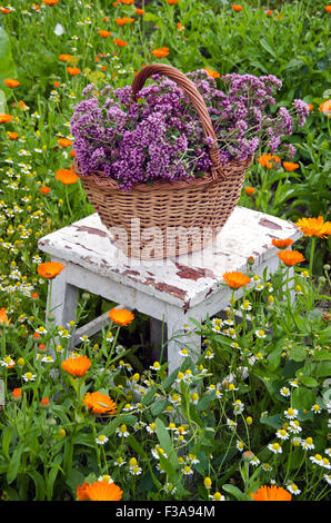 Freshly picked oregano in wicker basket on rustic chair in medical herbs garden - Stock Photo
