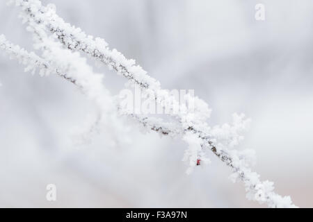rowan berries covered with frost - Stock Photo