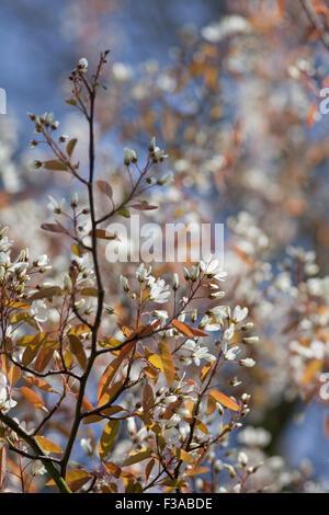White flowering blossom in spring - Stock Photo