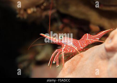 Durban Dancing Shrimp (Rhynchocinetes Durbanensis, aka Hingebeak Prawn, Hinge-beak Shrimp). Padang Bai, Bali, Indonesia - Stock Photo