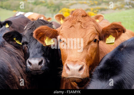 Inquisitive young bulls Bos taurus (cattle) with yellow ear tags on a farm. Wales, UK, Britain - Stock Photo